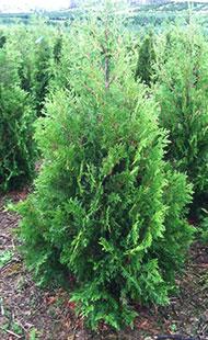 Dark Green Arborvitae