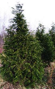 Sullivan Cypress